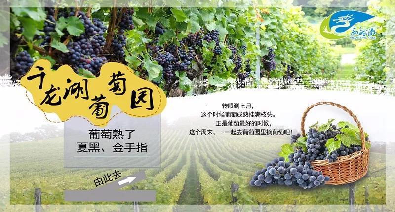 """千龙湖有个""""吐鲁番"""",鲜甜可口的葡萄,等你吃过瘾!"""